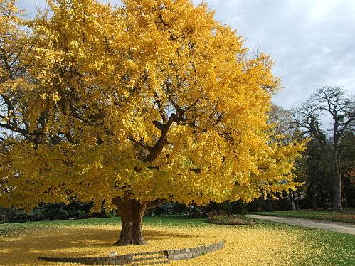 Acheter Ginkgo Biloba - 4 plantes pour la concentration et la mémoire | Le blog d ...